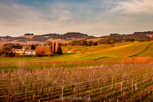 A Vineyard in the Late Afternoon