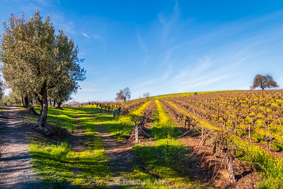 Olive Trees and Vines in Spring