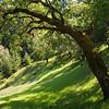 Oak Arc Sonoma