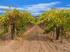 Sonoma California Vineyard