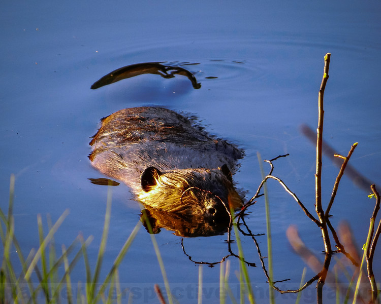 Trumbull Lake Beaver
