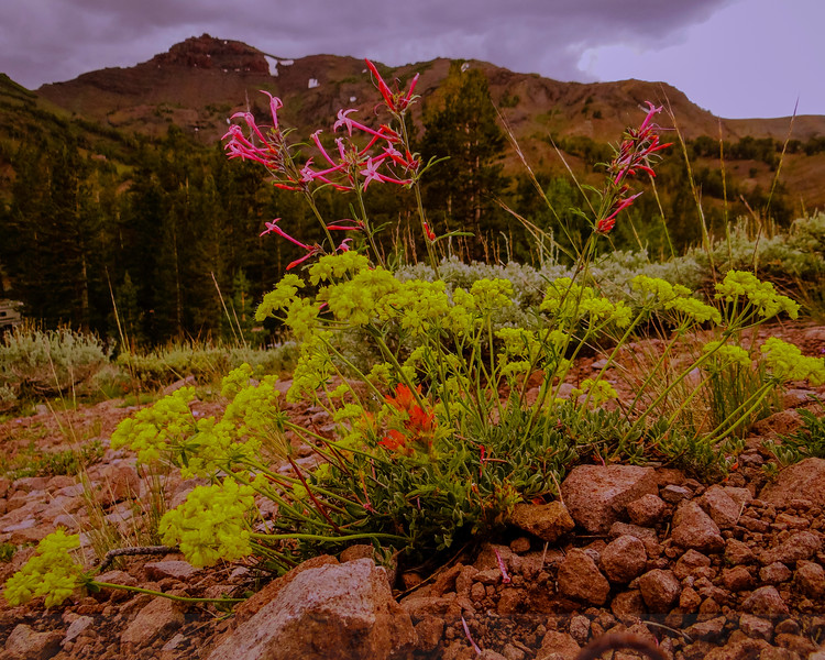 Sonora Pass Wildflowers