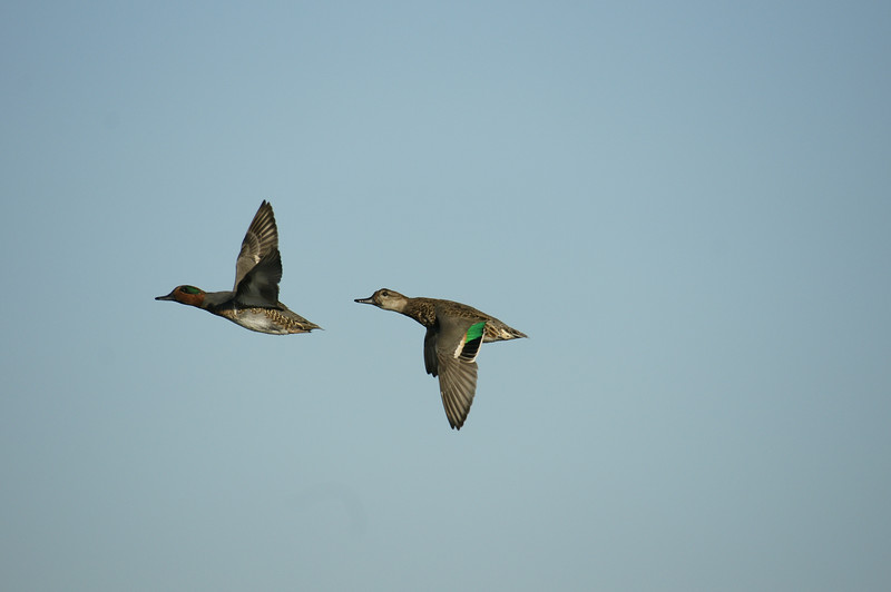 Teals in flight - small and quite fast. On the A100, I got a bit BIFs here and there. Now with the A700, juts one session, I got so many already - I think about 30+ usable (some captured in burst sequence).