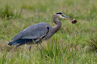 Great Blue Heron having lunch