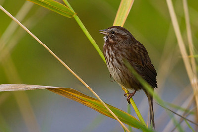 Song Sparrow or female Red-winged Blackbird??