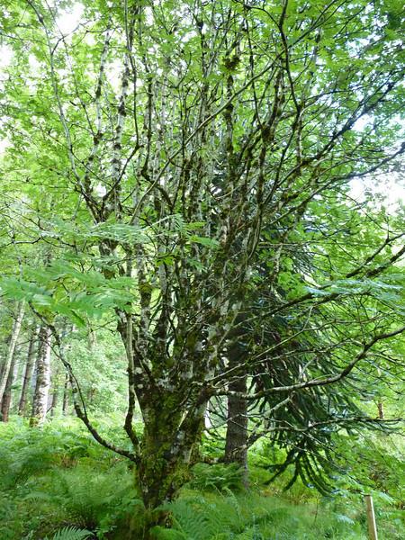 Lijsterbes in Lael Forest Garden, bij Ullapool Schotland. Een arboretum met met 200 boom- en struiksoorten. Rijk aan mossen dankzij hoge neerslag.