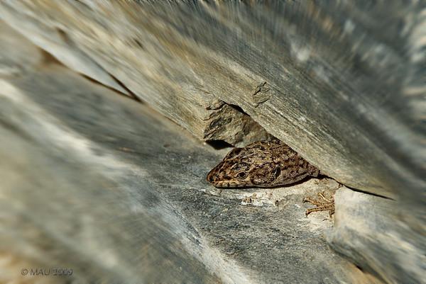 """3-10-2009<br /> <br /> """"Lagartija zoombada"""" - Algunas veces, no demasiadas, sí echo de menos tener un objetivo macro.<br /> <br /> """"Zoomed lizard"""" - Sometimes, not many, I do miss having a macro lens."""