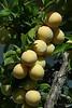 """""""Y de postre fruta fresca"""" (Nota sobre la campanilla de ayer: La foto tenía más manipulación que solo el fonde. Puedes ver la original y algunos 'experimentos'  <a href=""""http://www.rancho-k.com/gallery/8936901_eQt6C#593444933_Nb6jm"""">AQUI</a>  """"And fresh fruit for dessert"""" (Note about yesterday's bellflower: It had more manipulation than just the background. You can see the original and some 'experiments'  <a href=""""http://www.rancho-k.com/gallery/8936901_eQt6C#593444933_Nb6jm"""">HERE</a>"""