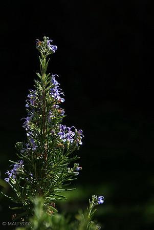 """24-10-2009<br /> <br /> """"Romero"""" - Hace unos días no pude resistirme a hacer esta foto en mi jardín.<br /> <br /> """"Rosemary"""" - I couldn't resist taking this shot a few days ago in my garden."""