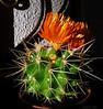 """26-5-2011<br /> <br /> """"10 cm"""" - Esa es su altura, incluida la flor.<br /> <br /> """"10 cm"""" - That's its height, flower included."""