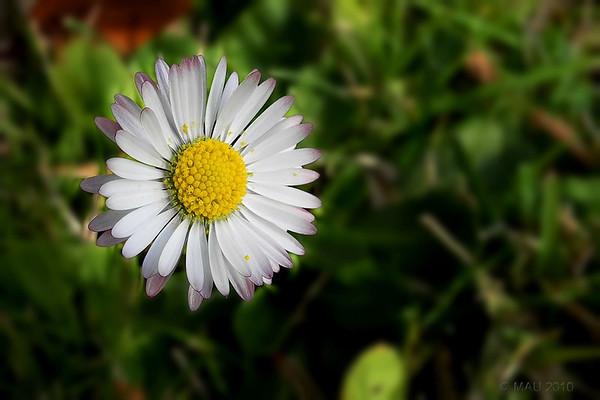 """12-5-2011<br /> <br /> """"Pequeña pero hermosa"""" - No es una 'foto de primavera'. Esta pequeña margarita, no mayor que una moneda de 10 céntimos, apareció entre la hierba del jardín el pasado mes de diciembre.<br /> <br /> """"Small but beautiful"""" - It is not a 'spring shot'. This little daisy, no larger than a 10 cent coin, appeared among my garden's grass last December."""