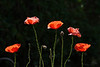 "13-6-2011<br /> <br /> ""Mis amapolas""<br /> <br /> ""My poppies"""