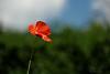 """06-6-2010  """"Mi amapola"""" - Digo 'mi' porque es la única que ha salido este año en mi jardín. 07-6-2010: Esta es la <a href=""""http://www.rancho-k.com/Experimental/Localizaciones/8114088_Bxeqt#892792709_PsCyp"""">LOCALIZACION</a>, y estas un par de <a href=""""http://www.rancho-k.com/Experimental/Mi-amapola/12463751_yW2Aj#892817590_vZpcX"""">ALTERNATIVAS</a> que tenía.   """"My poppy"""" - I say 'my' because it is the only one that has grown this year in my garden. 07-6-2010: This is the <a href=""""http://www.rancho-k.com/Experimental/Localizaciones/8114088_Bxeqt#892792709_PsCyp"""">LOCATION</a> of the photo, and these are a <a href=""""http://www.rancho-k.com/Experimental/Mi-amapola/12463751_yW2Aj#892817590_vZpcX"""">couple of ALTERNATIVES</a> I had."""