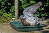 """03-6-2010  Español (English follows):  """"Paloma en la ducha"""" - Hace años que debajo de la ducha de la piscina tengo algún tipo de cacharro de plástico que sirva de bebedero y 'bañera' para los pájaros.Hasta ahora había visto bañarse a los gorriones, mirlos, <a href=""""http://www.rancho-k.com/Naturales/Birds/Petirrojo/7936867_5oTwX#517027927_fbo6r"""">petirrojos</a> y otros cuyos nombre desconozco, pero nunca antes una paloma. Debe ser porque cambié al cacharro hace unas semanas y puse uno mas grande (30cm x 30cm) de los que había tenido antes. Unas pocas fotos más en <a href=""""http://www.rancho-k.com/Naturales/Birds/Paloma-ducha/12417159_MmHuy#888571498_pjCjL"""">esta galería</a>.  NOTA a mis amigos: Estoy totalmente echado a perder. Hace un montón de tiempo que no hago ninguna foto (a la que se pueda considerar como tal) y hace un mes que no publicaba ninguna, ni buena ni mala. Tampoco veo ni comento fotos de otros. Solamente hago alguna 'instantánea' que otra en/de mis paseos en bicicleta. Porque la cámara, aunque en cierto modo es un estorbo, me la llevo. Pero no me paro a hacer fotos. Solamente si nos paramos (muchas veces voy acompañado) en algún sitio, a lo mejor me decido y saco alguna 'instantánea'. Pero luego ni las proceso. A ver si encuentro un poco de tiempo y os preparo alguna para que las veáis.   English:  """"Pigeon in the shower"""" - Since years ago I always have some kind of plastic bowl under the pool's shower so birds can drink and take a bath. Up to now I had seen sparrows, blackbirds, <a href=""""http://www.rancho-k.com/Naturales/Birds/Petirrojo/7936867_5oTwX#517027927_fbo6r"""">robins</a> and others which name I don't know, but I had never seen a pigeon taking a bath. It must be because just a few weeks ago I replaced the bowl by a larger one (30cm x 30cm). A few mor pics in <a href=""""http://www.rancho-k.com/Naturales/Birds/Paloma-ducha/12417159_MmHuy#888571498_pjCjL"""">this gallery</a>.  NOTE to my friends: I am totally spoiled. It has been a long time since I have """