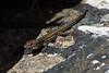 Cría de lagartija - Baby lizard