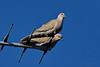 """31-3-2010<br /> <br /> """"Tórtolas"""" - Están en la antena de TV de mi vecino de atrás y la foto está hecha desde mi jardín.<br /> <br /> """"Doves"""" - They are on my neighbour's TV antenna and the picture was taken from my back yard."""