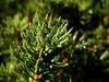 """09-2-2011<br /> <br /> """"Después de la niebla - 2"""" - Hace un par de semanas, el 21 de enero, publiqué una foto parecida pero, para mi gusto, esta es mejor. Para daros una idea de escala, las acículas de este árbol (quizá arbusto, por su tamaño) no miden más de 1 cm de longitud. (Mejor vista a tamaño grande).<br /> <br /> """"After the fog - 2"""" - A couple of weeks ago, on January 21st, I uploaded a somewhat similar picture but, for me, this one is better. To give you an idea of scale, the needles of this tree (perhaps just a bush because of its size) are no more than 1 cm in length. (Better seen at large sizes)."""