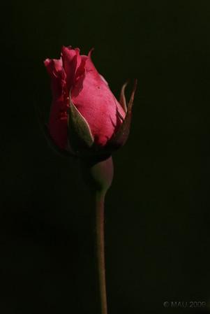 Sí, ya sé. Otra florecilla más. Pero es lo que hay en esta época del año y no he podido resistir la tentación.<br /> <br /> Yes, I know. Yet another flower. But it is what you can find in this time of the year and I couldn't resist.