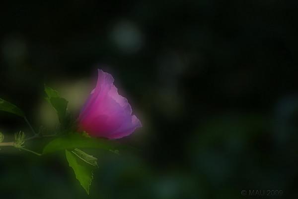 """""""Suavidez"""" - Sé que la palabra 'suavidez' no existe, me la acabo de inventar para expresar la sensación que me produce esta foto. Hacía bastante que no publicaba una foto de una flor, está hecha hace un par de semanas. El suave desenfoque está realizado en el post-proceso porque me ha gustado más que el obtenido con la propia cámara.<br /> <br /> """"Softiness"""" - I know the word 'softiness' doesn't exist, I have just invented it to express the sensation this photo produces on me. I had not posted any flower shot for some time, this was taken a couple of weeks ago. Soft focus was done in PP because I liked it better that the one obtained directly with the camera."""