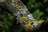 Líquenes en una rama del ciruelo.<br /> <br /> Lichens on a brach of the plum tree.