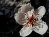 """09-3-2011<br /> <br /> """"La nieve no las dañó"""" - Es una flor de pruno. (Siempre mejor a tamaño grande).<br /> <br /> """"Snow didn't hurt them"""" - It's a plum tree flower. (Alway better at large size)."""