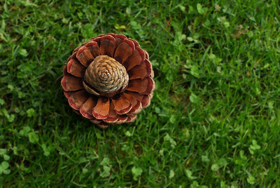"09-10-2011  ""La piña que quería ser flor"" - No está colocada, la encontré en esa posición sobre el césped del jardín.  ""The pine cone that wanted to be a flower"" - I didn't set it, I found it in that position on my lawn."