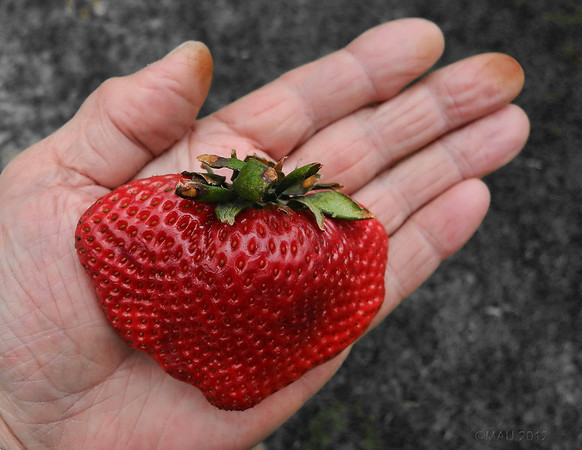 """04-Mar-2012<br /> <br /> """"¡Feliz San Valentín!""""  -  Quizá debería haber esperado al San Valentín del año próximo para para publicar esta foto, pero he pensado que la fresa estaría un poco pachucha para entonces ;-)<br /> <br /> """"Happy Valentine's! - Maybe I should have waited till next year's Valentine's Day to publish this photo, but I though that the strawberry would be a bit overripe by then ;-)"""