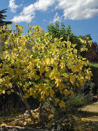 """27-Ago-2012<br /> <br /> """"Otoño en agosto"""" - Es simplemente una instantánea, que lo único que pretende es dejar constancia de cómo estaba la higuera de un vecino el día que fue tomada, el 7 de este mes de agosto. Supongo que es consecuencia de la tremenda sequía que tenemos este año.<br /> <br /> """"Autumn in August"""" - It is just a snapshot with no other value that showing how a neighbor's fig tree looked on August 7th when it was taken. I assume it is a consequence of the severe drought this year."""