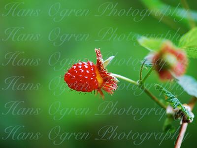 Ripe Salmonberry