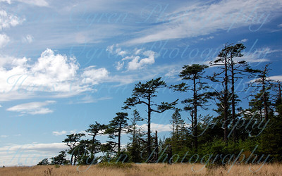 Windswept Treeline on San Juan Island