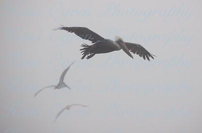 Pelican in the Mist