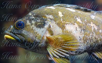 Rockfish at the Aquarium