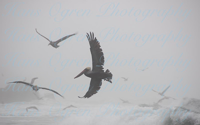 Pelican in the Mist