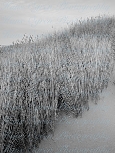 Beach Grass in Black and White