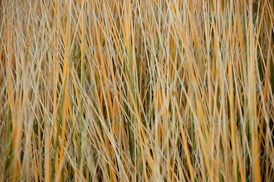 Beach Grass Strands