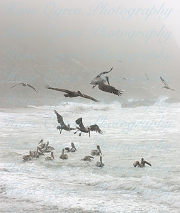 Pelicans in the Mist