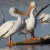Pelican Kiss