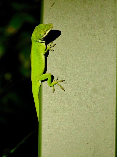 Side View Lizard