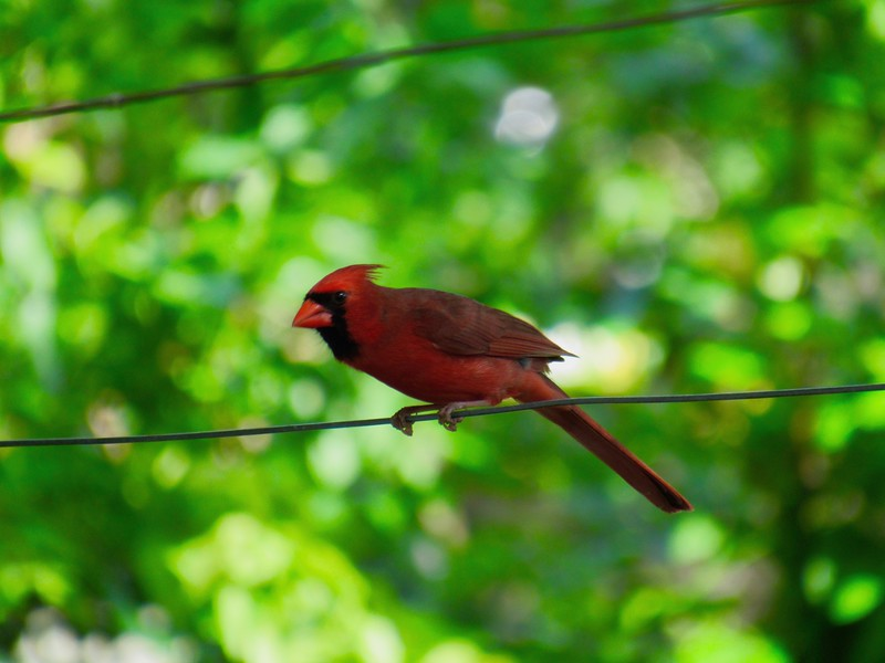 Cardinal on the wire