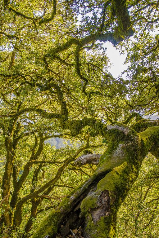 """Ancient Oak Witness"""