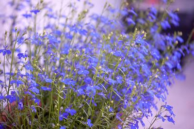 Blue little flowers