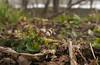 Harbinger of spring (<I>Erigenia bulbosa</I>) on Potomac floodplain C&O Canal Nat'l Historical Park - near Riley's Lock, Western Montgomery County, MD