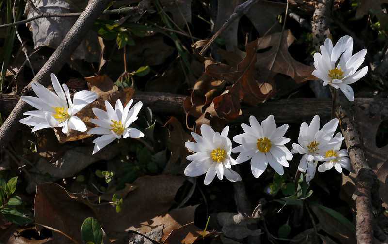 Bloodroot (<I>Sanguinaria canadensis</I>) on a hillside C&O Canal Nat'l Historical Park - near Riley's Lock, Western Montgomery County, MD