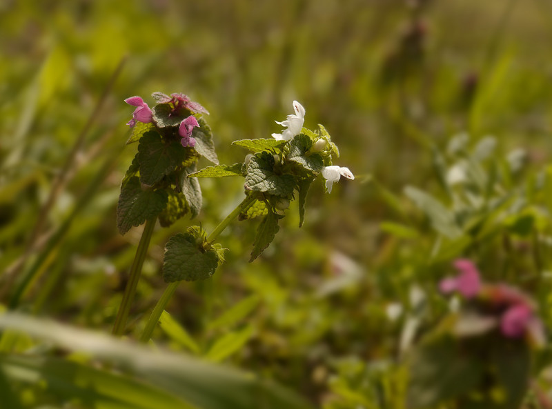 "Purple dead nettle (<i>Lamium purpureum</i>) <span class=""nonNative"">[non-native]</span> with unusual white one  Falmouth Waterfront Park, Falmouth, VA"