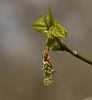 Box elder (<I>Acer negundo</I>) female flowers Falmouth Waterfront Park, Falmouth, VA