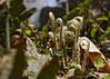 Christmas fern (<I>Polystichum acrostichoides</I>) fiddleheads in quarry Government Island, Stafford, VA