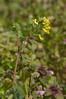 Yellow corydalis (<I>Corydalis flavula</I>) on Rappahannock floodplain Falmouth Waterfront Park, Falmouth, VA