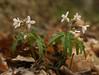Cutleaf toothwort (<I>Cardamine concatenata</I>) Government Island, Stafford, VA