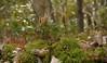 Running cedar clubmoss (<I>Lycopodium digitatum</I>) with fruiting bodies Government Island, Stafford, VA