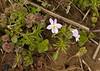 American field pansy (<I>Viola bicolor</I>, light morph) on Rappahannock floodplain Falmouth Waterfront Park, Falmouth, VA
